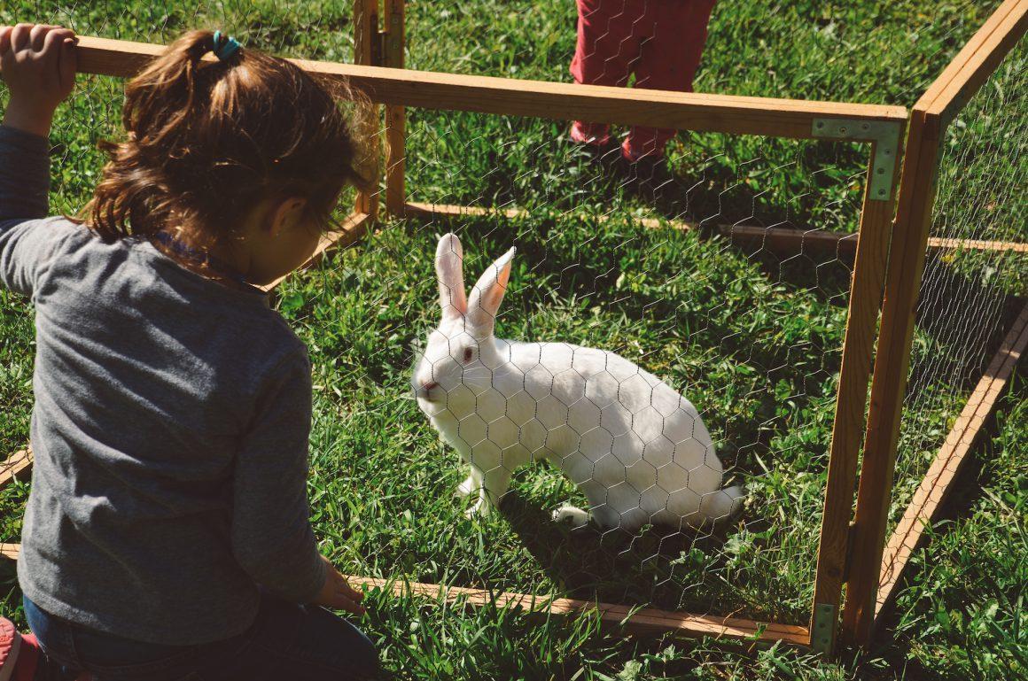 petita mirant conill granja