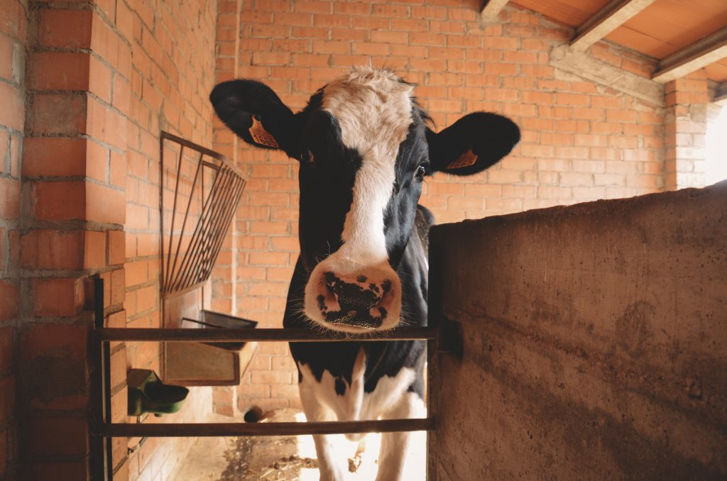 Vaca granja casa colonies