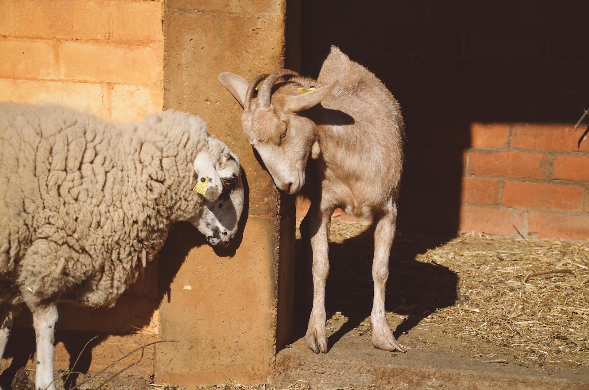 ovella i cabra Can Mas